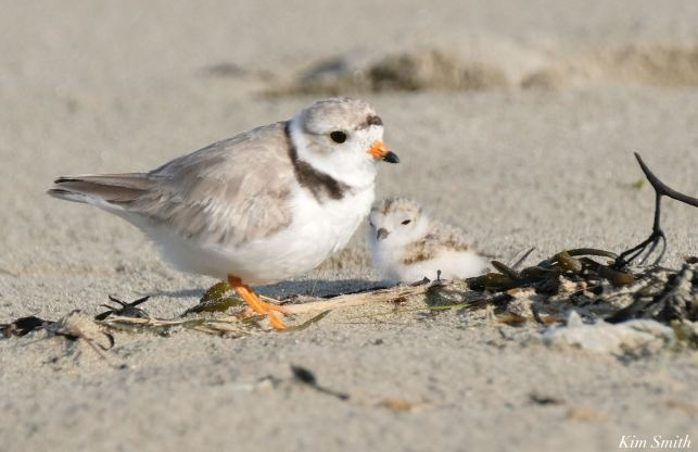 Piping Plovers Salt Island - 6 of 12