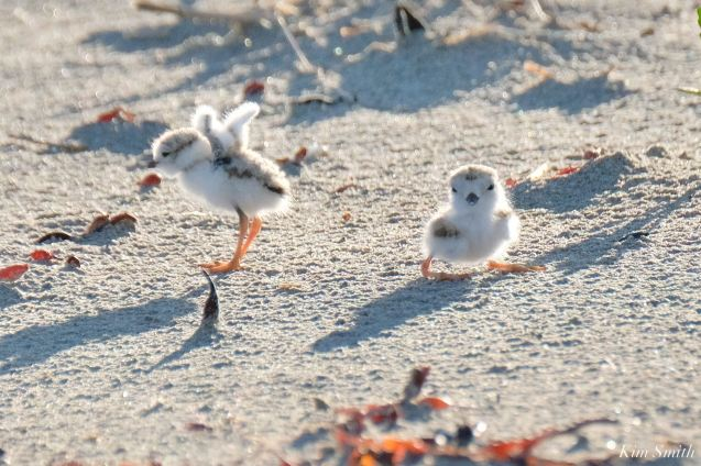 Piping Plovers Salt Island - 7 of 12
