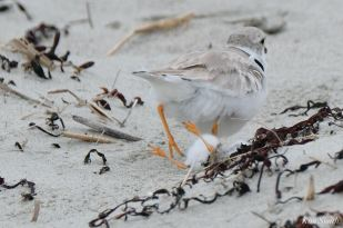 Piping Plovers somersaulsting chick Salt Island - 5 of 12