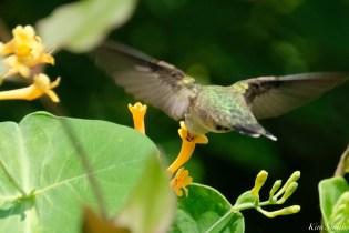 Ruby-throated Hummingbird Gloucester Garden Essex County copyright Kim Smith - 2 of 7