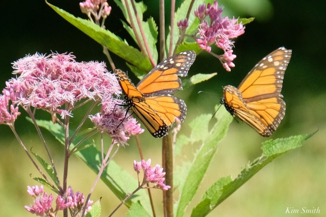 Monarch Butterflies Males Battling Cape Ann Essex County copyright Kim Smith - 6 of 7