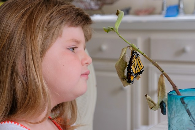 Monarchs emerging and Charlotte copyyright Kim Smith - 3 of 13