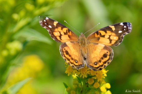 American Painted Lady Vanessa virginiensis dorsal Essex County copyright Kim Smith