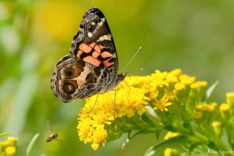 American Painted Lady Vanessa virginiensis ventral Essex County copyright Kim Smith