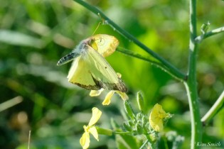 Clouded Sulphur Essex County coyright Kim Smith - 2 of 11