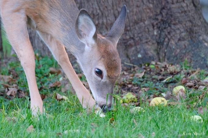 Deer eating apples copyright Kim Smith - 6 of 10