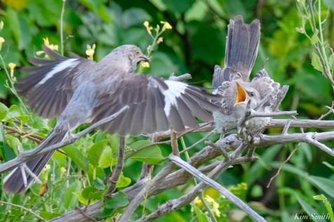 Mockingbird Juvenile Fledgling copyright Kim Smith - 2 of 4
