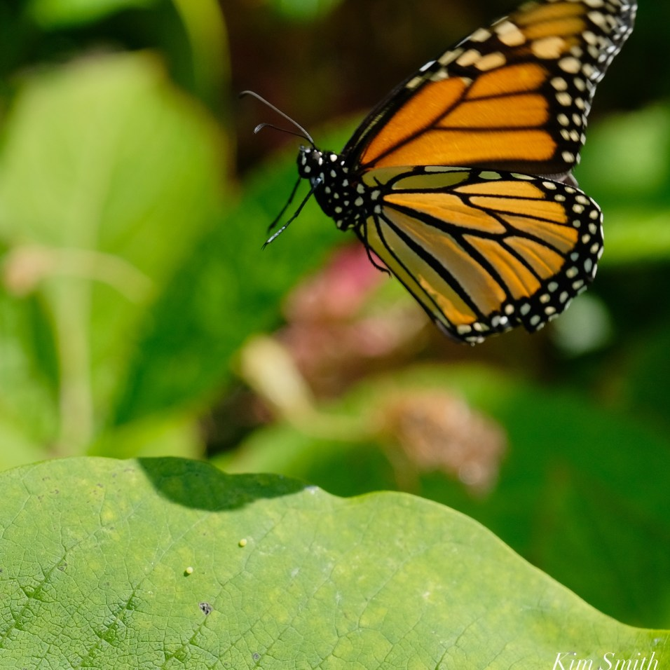 Monarch Mating Essex County copyright Kim Smith - 15 of 16