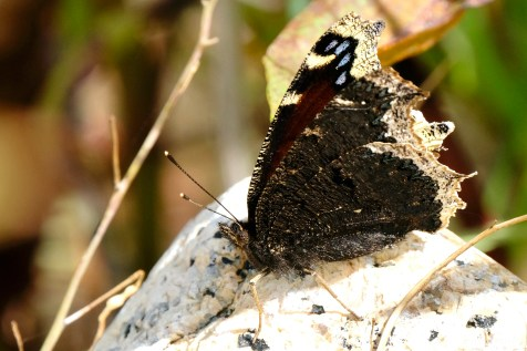 Mourning Cloak ventral copyright Kim Smith