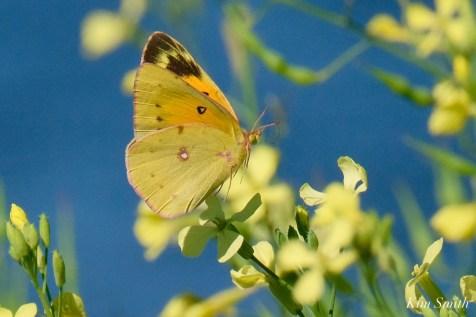 Orange Sulphur Butterfly Male Essex County copyright Kim Smith - 2 of 7