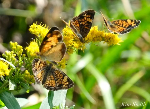 Pearl Crescent doesal ventral copyright Kim Smith