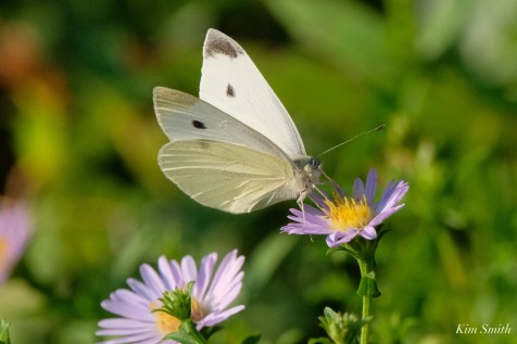 Small White Butterfly Cabbage White copyright Kim Smith - 4 of 12