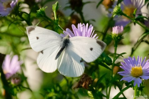 Small White Butterfly Cabbage White copyright Kim Smith - 8 of 12