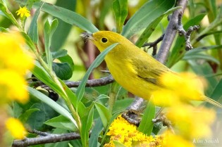 Yellow Warbler Female Essex County copyright Kim Smith