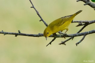 Yellow Warbler female Essex County copyright Kim Smith - 1 of 8