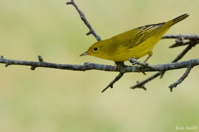 Yellow Warbler female Essex County copyright Kim Smith - 2 of 8