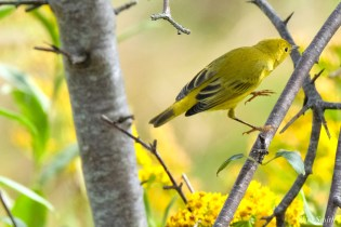 Yellow Warbler female Essex County copyright Kim Smith - 8 of 8