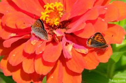 American Copper Butterfly Essex County copyright Kim Smith - 21 of 26