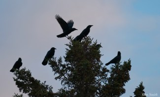 Crows Twilight Eastern Point Essex County copyright Kim Smith - 5 of 8