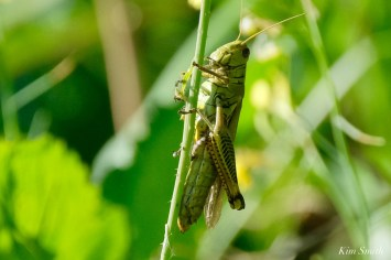 Differential Grasshopper Essex County copyright Kim Smith - 1 of 5