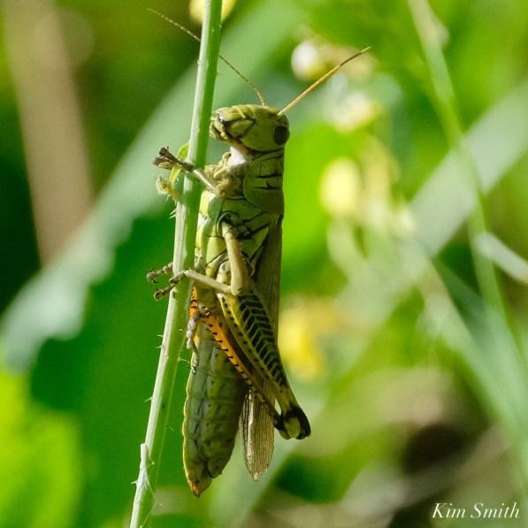 Differential Grasshopper Essex County copyright Kim Smith - 2 of 5