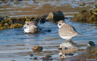 Semipalmated Plovers Eastern Point Gloucester Essex County October 23, 2021 copyright Kim Smith - 5 of 11