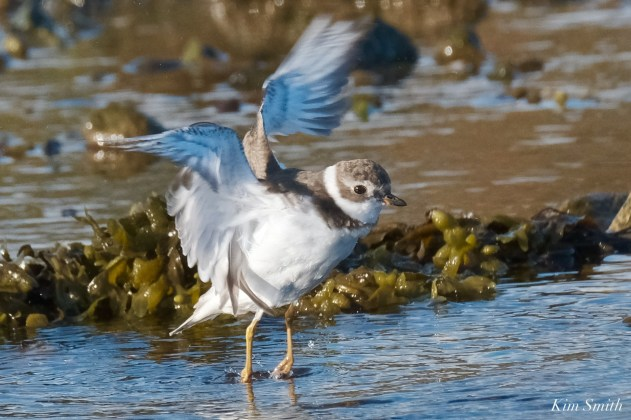 Semipalmated Plovers Eastern Point Gloucester Essex County October 23, 2021 copyright Kim Smith - 8 of 11