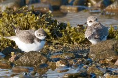 Semipalmated Plovers Eastern Point Gloucester Essex County October 23, 2021 copyright Kim Smith - 9 of 11