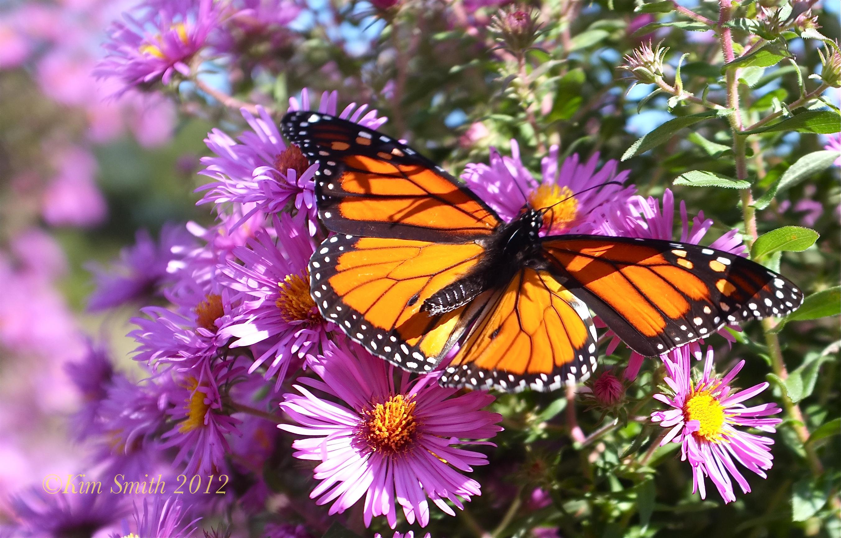 Monarch Butterfly Migration Gloucester