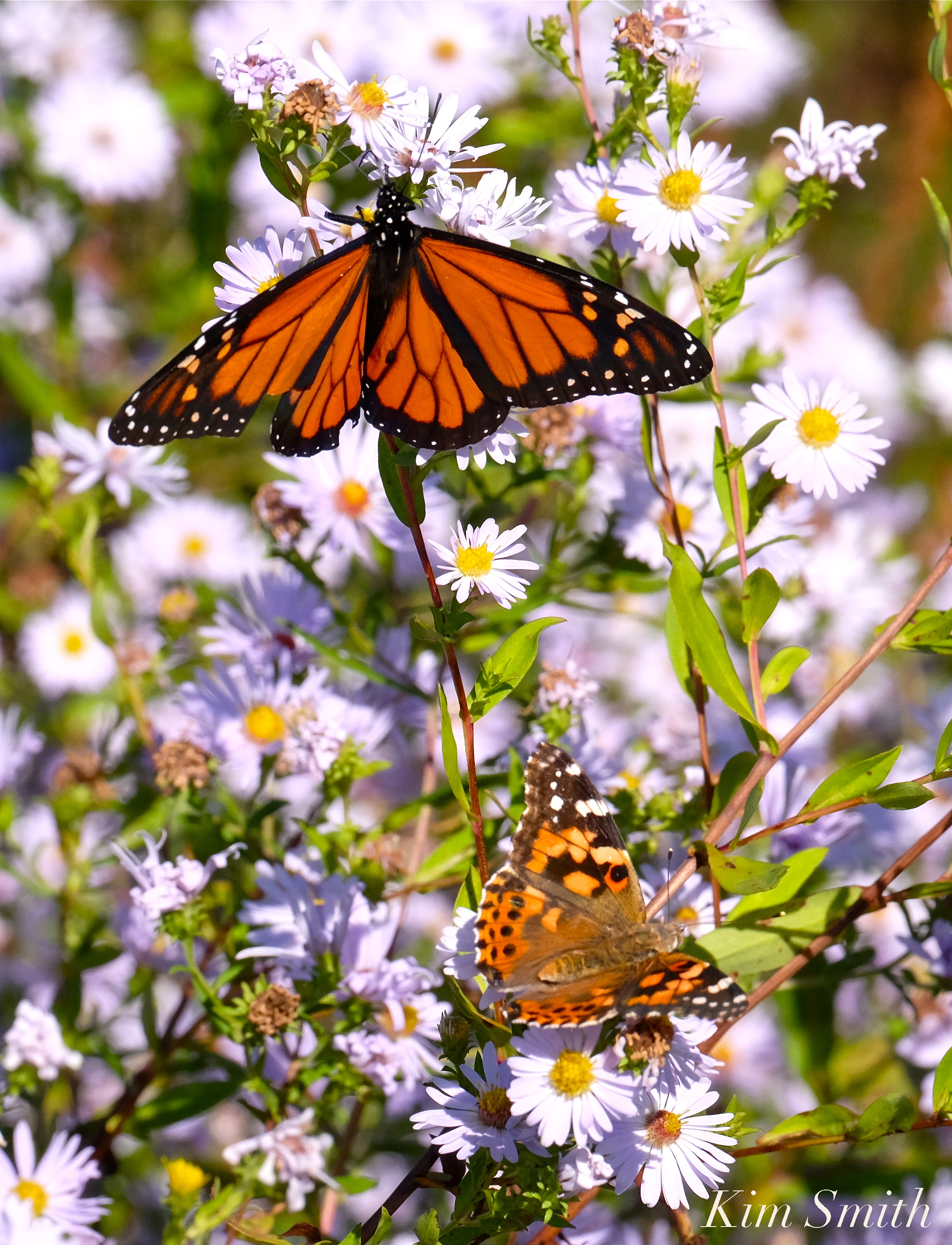 A Spectacular Painted Lady Butterfly Irruption Happening