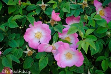 'Complicata' is an old-fashioned rose that flushes in spring.