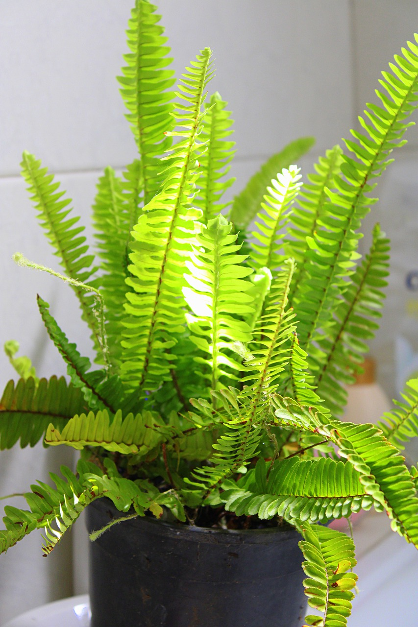 image of boston fern, a plant that can be used to detoxify the home