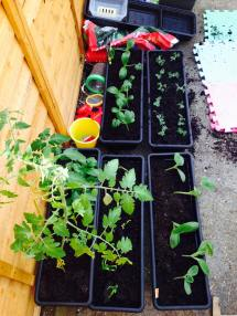 Clockwise from top left: golden courgettes, peas, pumpkins, garlic, tomatos and peppers (in the same trough)