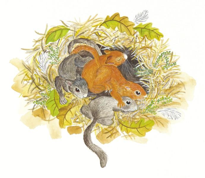 Das Eichhörnchenjahr: Eichhörnchenjunge liegen in ihrem Kobel, aus einem Bilderbuch über Eichhörnchen