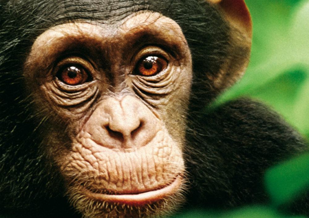 Verlosung: Schimpansen