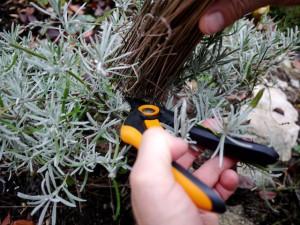 Für unseren Lavendel ist die Zeit vorbei und wir schneiden ihn ab. Foto (c) kinderoutdoor.de