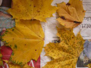 Herbstlaub trocknet um damit basteln zu können. foto (c) kinderoutdoor.de