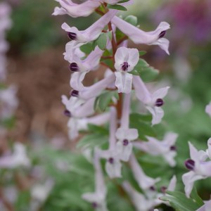 corydalis integra