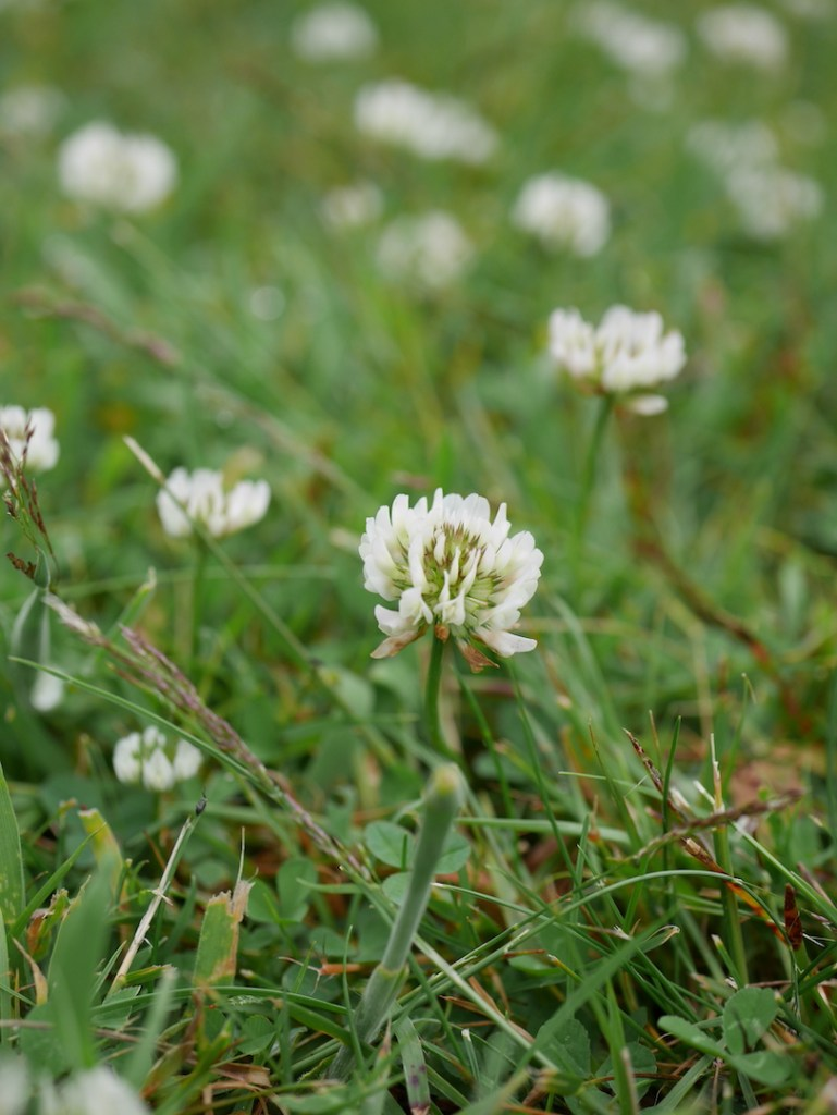 Six on saturday white clover