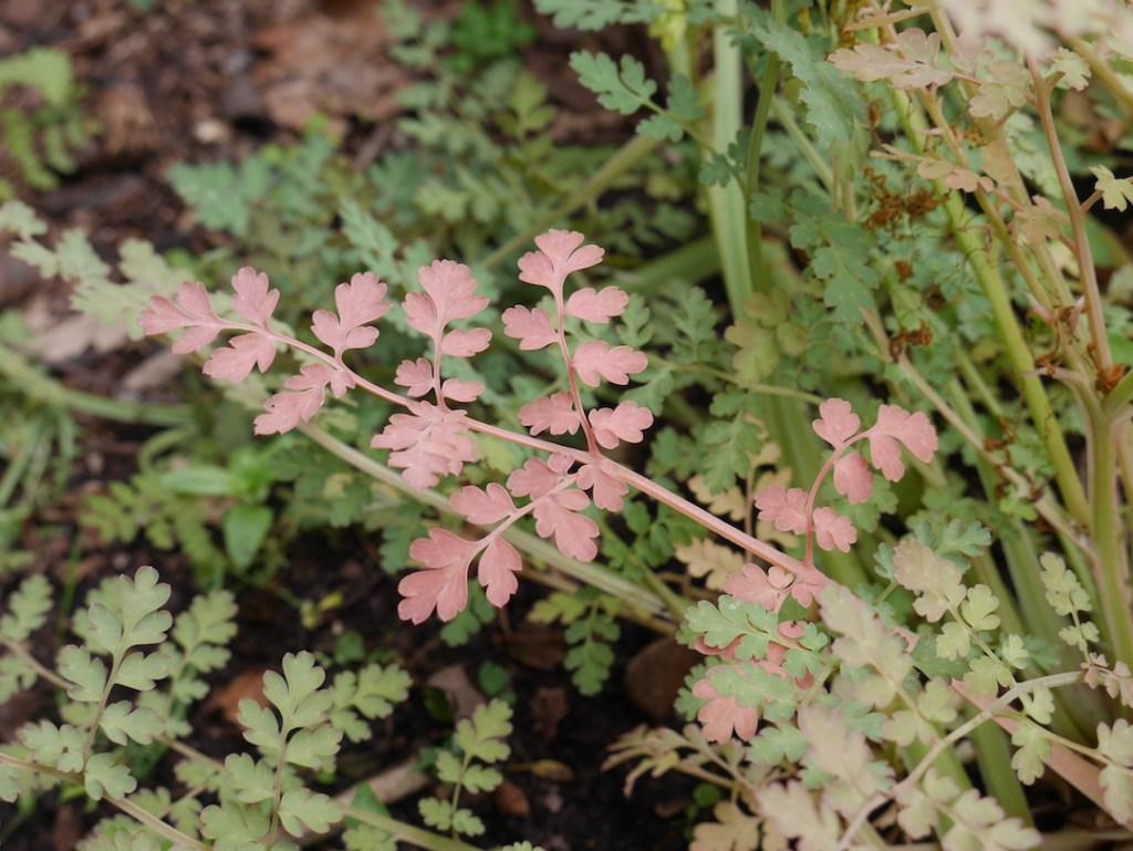 Corydalis ophiocarpa leaves