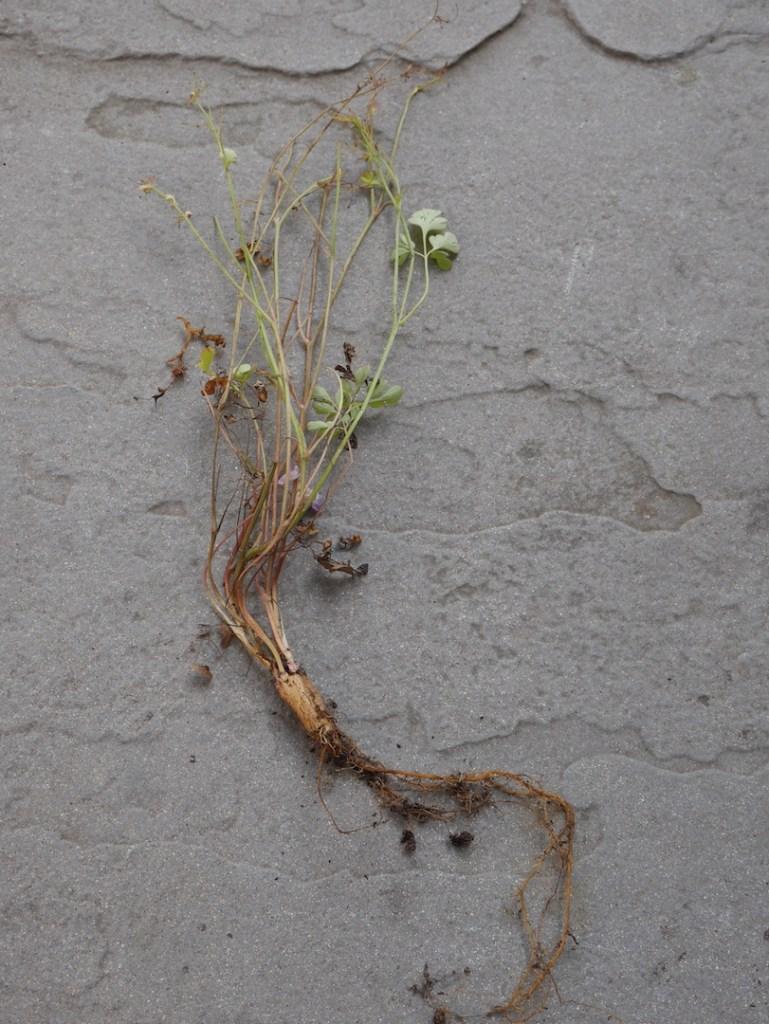 corydalis linstowiana roots