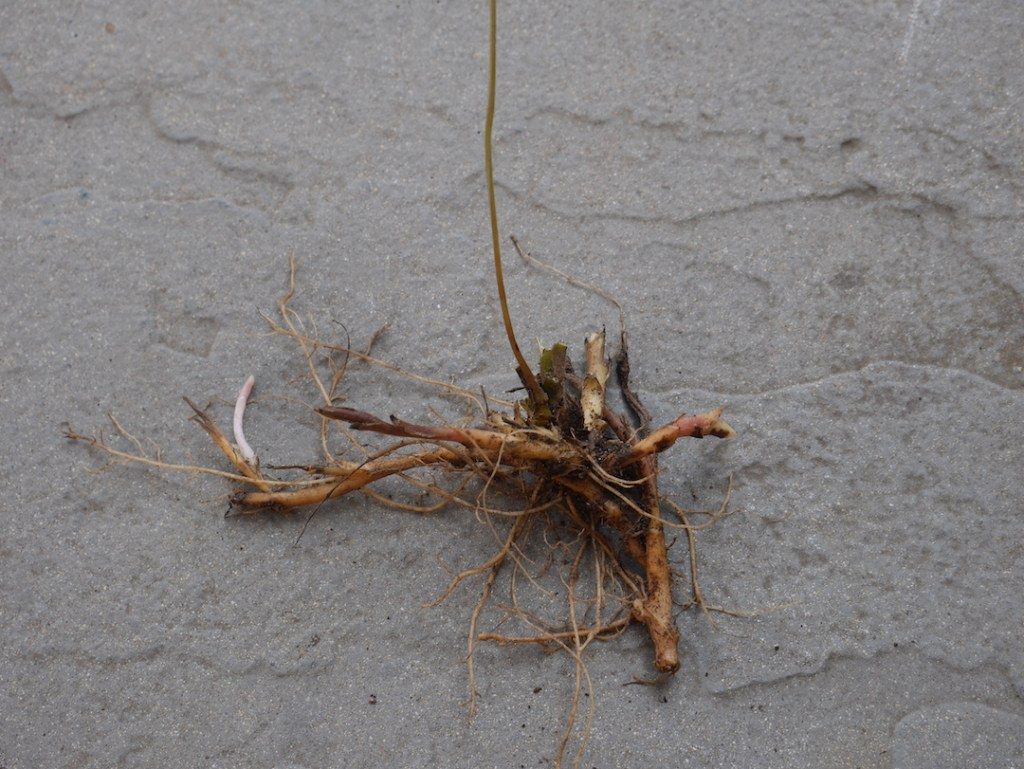 Dicentra formosa roots