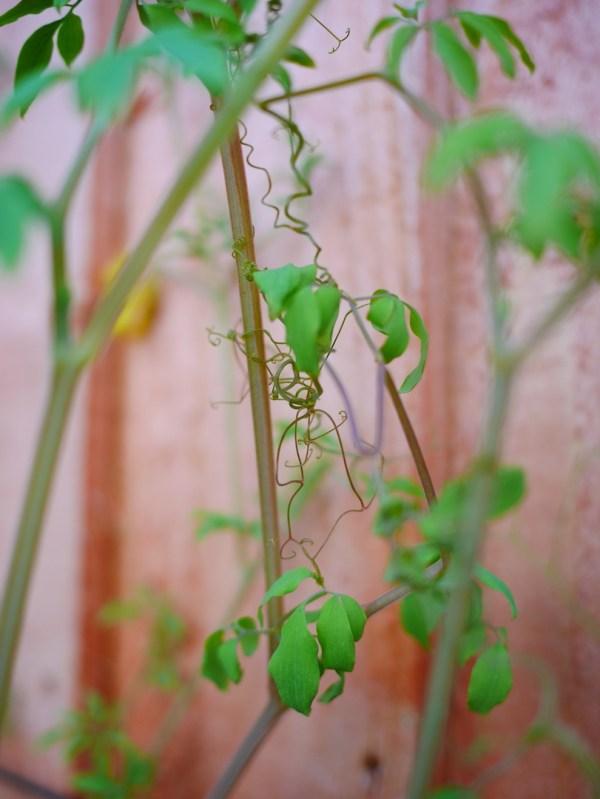 Dactylicapnos torulosa