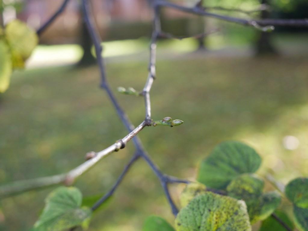 Tree Following buds