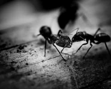 How do I get rid of sugar ants naturally from the home