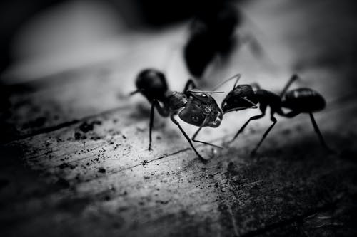 how to get rid of sugar ants naturally