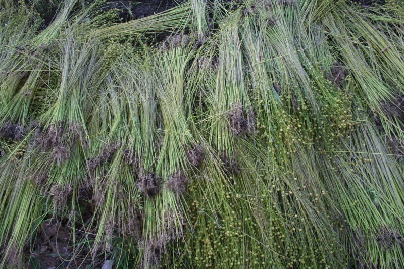 How To Grow Flax The Kindling Trust