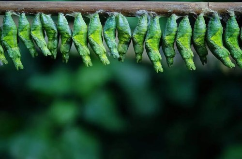 a line of cocoons hanging upside down