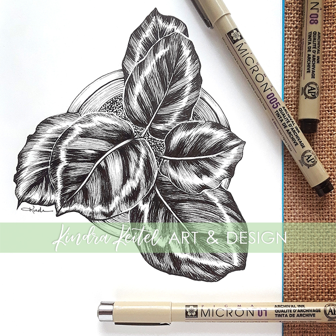 calathea botanical illustration