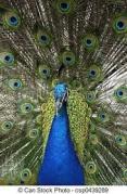 peacock spread